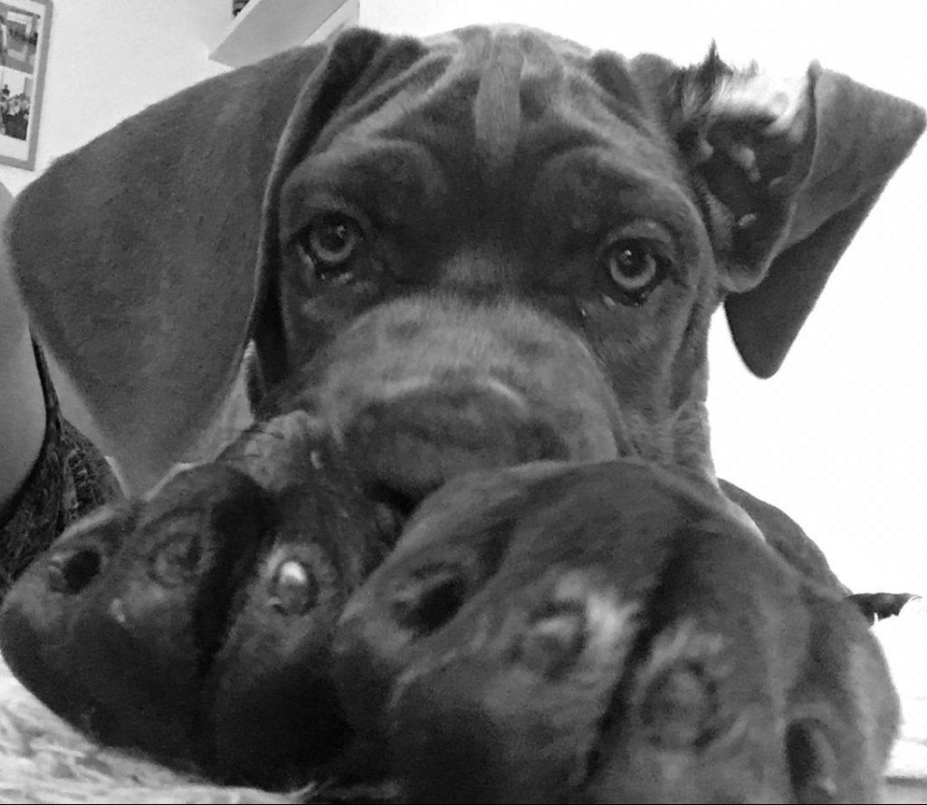 Cucciolo di cane corso grigio