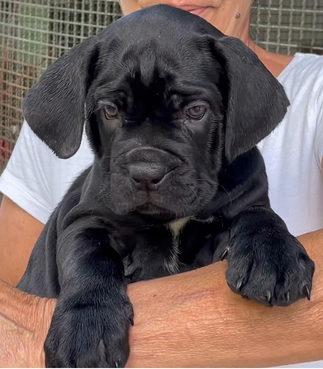 Cucciola di cane corso, manto nero, Avalanche