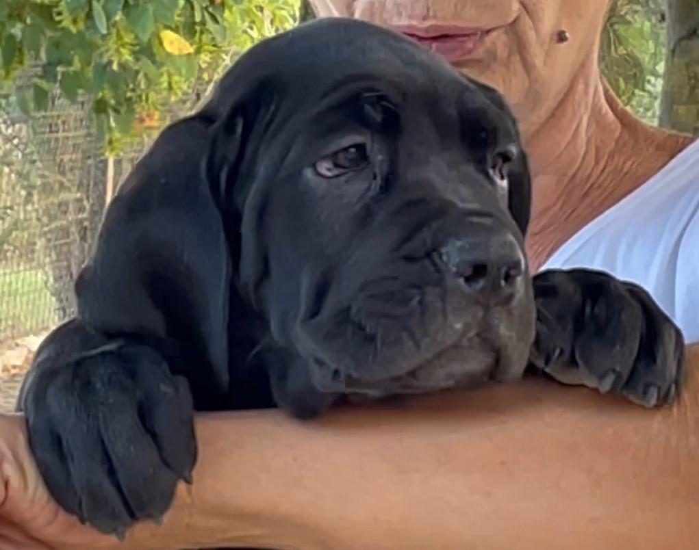 Cucciola di cane corso, manto nero, Sandy