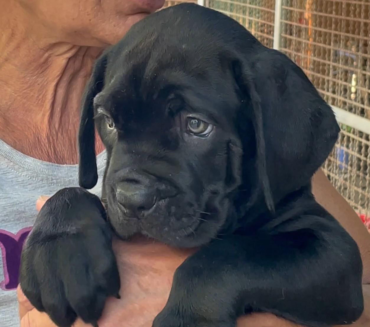 Cucciolo di cane corso, manto nero, Stacks